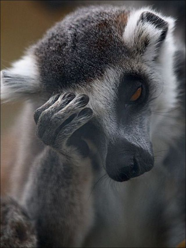 373 - monkey facepalm
