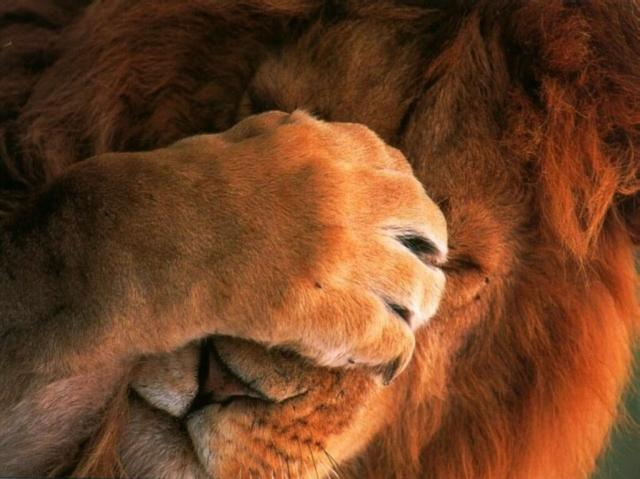 374 - lion facepalm animal facepalm